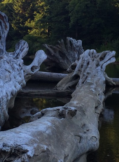 Amazing driftwood on the beach and all around the Kalaloch inlets