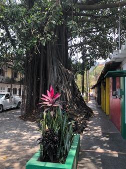 Amazing banyan trees all around the city