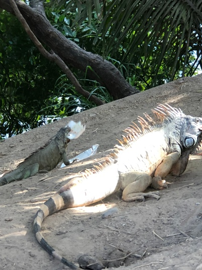 These iguanas were beefy and huge! One was eating styrofoam... :(