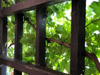 Grape vines at Tsillan Cellars