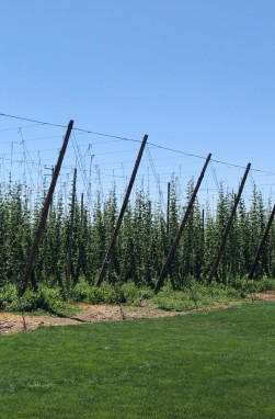 Hops as far as the eye can see!