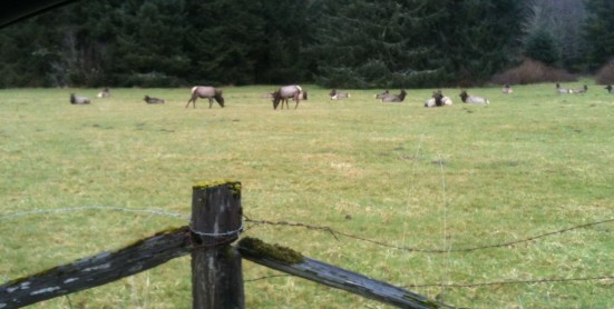 Grazing elk on the way to Neah Bay