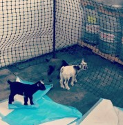 Baby goats and kegs of beer. What could possibly go wrong?? (Photo credit: Kara P.)