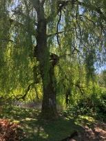Beautiful willow tree near Spragues Pond