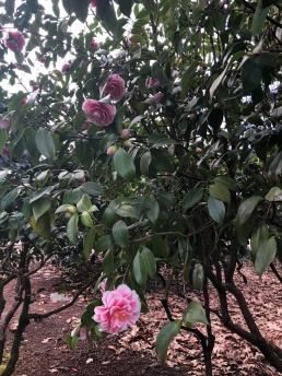 Some of the beautiful Camellias bushes blooming on the Capitol campus