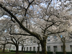 Gorgeous cherry blossoms on the grounds of the Capitol