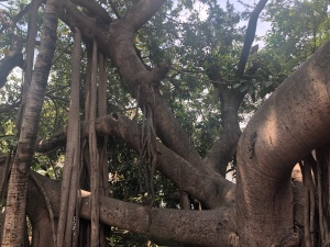 The banyan trees on Cuale River Island are truly amazing