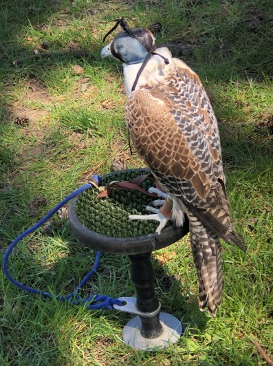 Taking a rest from his falconry duties