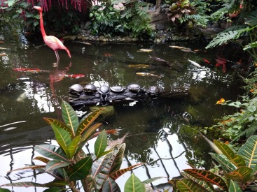 Flamingos and Koi fish at the Butterfly Gardens (Photo credit: K. Spoor)