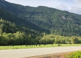 Happy cows along the North Cascades Highway
