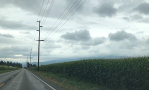 Corn! One of the many crops in the Lynden and Sumas areas