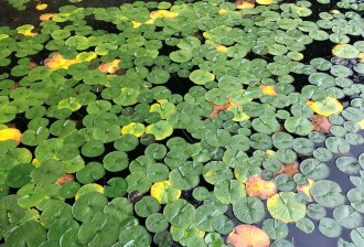 Lovely Lily Pads!