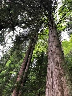 Big trees!