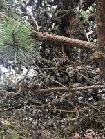 Scruffy, scrubby beach pine