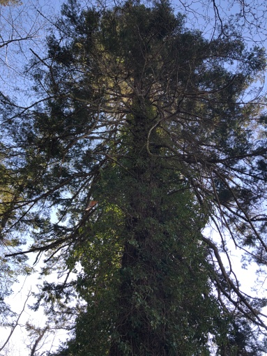 Big, beautiful and old - The trees of Camano