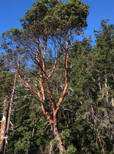 Glorious Madrona trees can be found all along the coasts of Camano