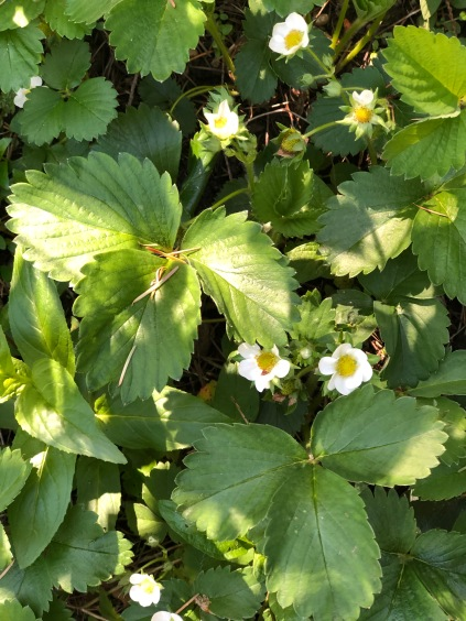 Look down on your neighborhood strolls - you never know what you'll find. Alpine Strawberries arriving soon! Mmmmm...