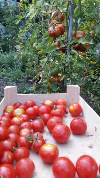 Our vegetable garden: solo i pomodori più freschi