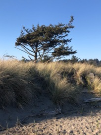 Wind-swept trees near Benson Beach and the North Jetty