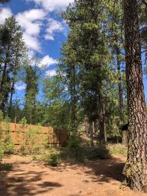 Cleveland Park is full of lovely Ponderosa pines